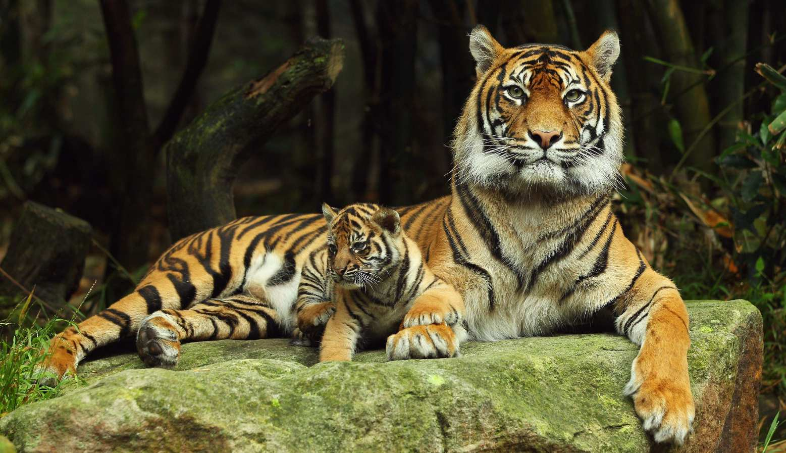 32/fc/international-tigers-day-only-3200-wild-tigers-left.jpg