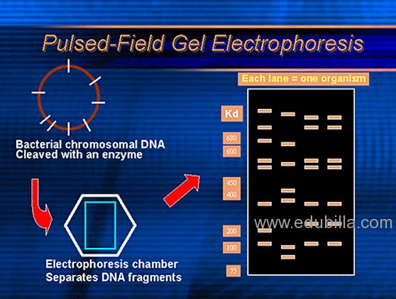 Pulsed Field Gel Electrophoresis Pulsed Field Gel